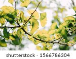 At The End Of Summer  Ginkgo Is ...