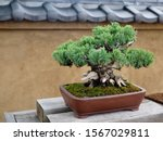 Japanese Small Green Conifer...