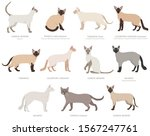 siamese type cats  colorpoints. ... | Shutterstock .eps vector #1567247761