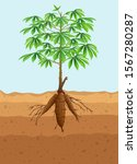 cassava tree plant with roots | Shutterstock .eps vector #1567280287