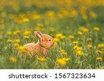 Cute Red Rabbit Among Dandelions