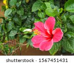 Red Or Pink Hibiscus Flower Or...