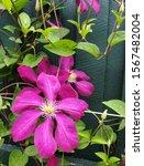 Clematis Purple Flower Plant...
