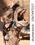 Yawning Camel With Open Mouth...