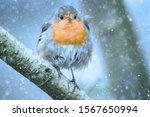 European Robin In A Snow Storm...
