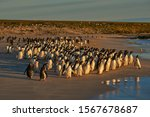 Small photo of Large number of Gentoo Penguins (Pygoscelis papua) held back from going to sea by a Leopard Seal, out of shot, hunting offshore Bleaker Island in the Falkland Islands.