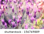 french lavender  | Shutterstock . vector #156769889