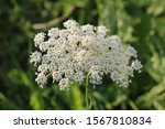 Large Wild Carrot Or Daucus...