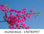Pink Blooming Bougainvilleas...