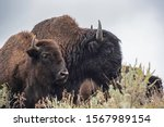 Closeup Of A Large Bison In A...
