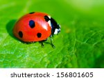 Ladybug On A Green Leaf Macro