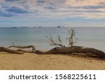 Dry Tree Fallen On The Beach...