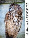 Brown Owls Raptor. Bird Of Pre...