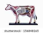 Cow Anatomy Model