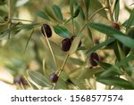 Olive Tree Branch With Leaves....