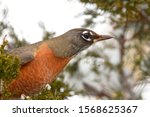 An American Robin Searches For...
