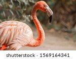 Pink Flamingo In Novosibirsk Zoo