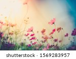 Cosmos Flowers Beautiful In The ...