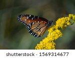 Monarch Butterfly Red Rock...