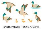Wild Ducks. Young Swimming...