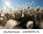 Cotton Grass In The Mountain...