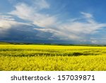 Canola Field In Bloom With...