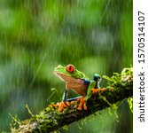 Red Eyed Tree Frog During Rain