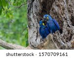 Hyacinth Macaws Are  The World...