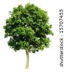 walnut tree  latin name ... | Shutterstock . vector #15707455
