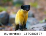 The Yellow Throated Marten ...