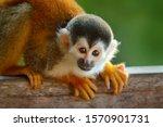 Monkey  Long Tail In Tropic...