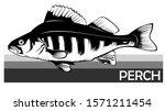 Perch Common Fish. Predatory...