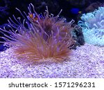 Sea Anemone And Clown Fish In...