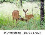 White Tailed Deer Fawn And Doe...