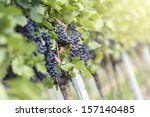 Red bunch of grapes in the vineyard by sunny weather - stock photo