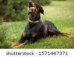 An Adult Doberman Type Of Dog...