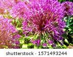 Allium Blooming Close Up. Ball...