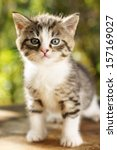 Stock photo cute small gray kitten with beautiful striped color white breast and paws against green summer 157169027