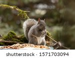 Eastern Gray Squirrel  Known As ...