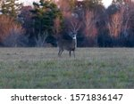 Small photo of Female doe grazing the field