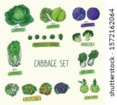 hand drawn sketch style cabbage ... | Shutterstock .eps vector #1572162064
