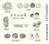 hand drawn sketch style cabbage ... | Shutterstock .eps vector #1572162067
