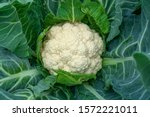 Cauliflower Grows In Organic...