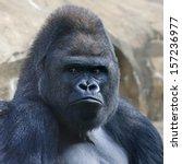 Face Portrait Of A Gorilla Mal...