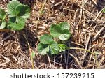 young strawberry plants growing ... | Shutterstock . vector #157239215
