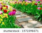 Colourful Fresh Tulips...