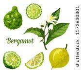 bergamot orange fruit vector... | Shutterstock .eps vector #1572630301