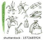 sugar cane or sugarcane... | Shutterstock .eps vector #1572685924