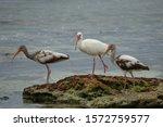 Three ibises standing on rock...