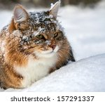 The Beautiful Cat Sits On Snow...